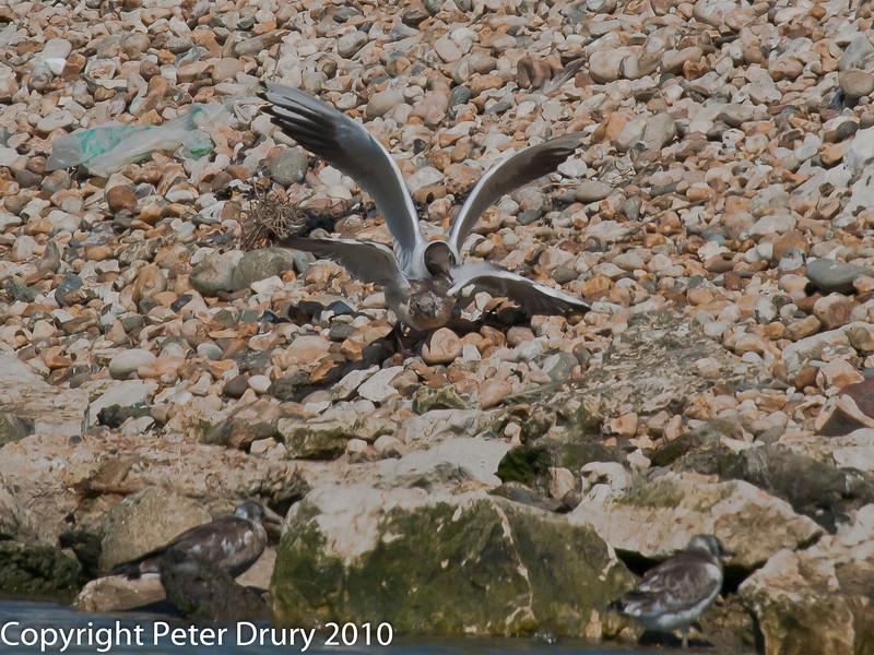 Juvenile gull too close to gull chicks #8. Copyright Peter Drury 2010