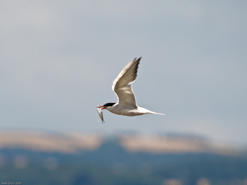 Common Tern (Sterna hirundo). Copyright 2009 Peter Drury<br /> The old oysterbeds, North Hayling Island