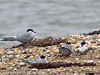 Common Tern family. Feeding a small flat fish to the chick on the left. Copyright Peter Drury 2010