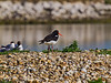 19 May 2011. Oystercatcher at the oysterbeds. Copyright Peter Drury 2011