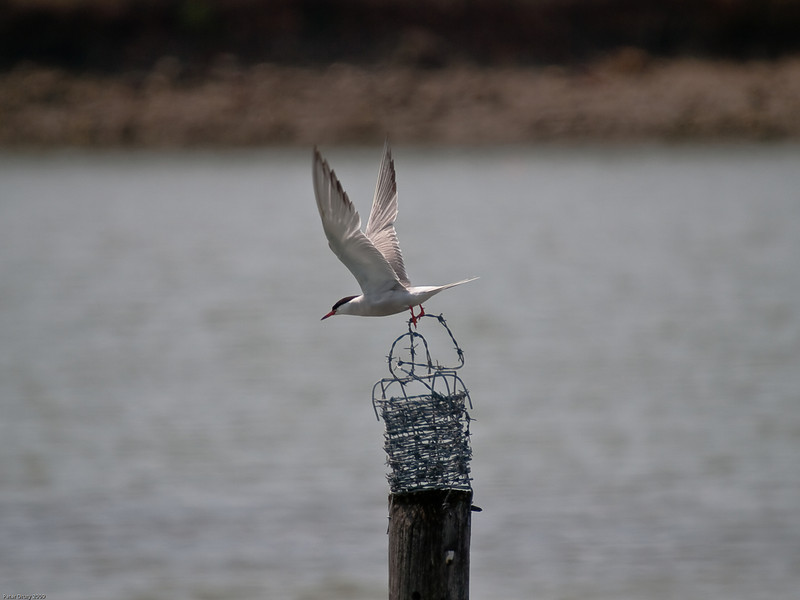 Common Tern (Sterna hirundo). Copyright 2009 Peter Drury<br /> Another favourite perch is a pole in the lagoon. It's not quite as popular as the signs but this may be due to the barbed wire!