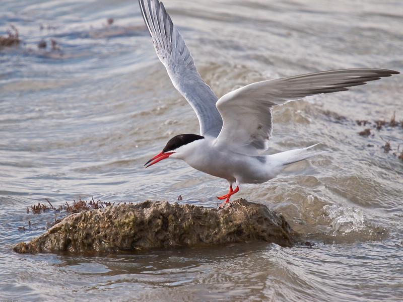 Common Tern fishing. Copyright Peter Drury 2010
