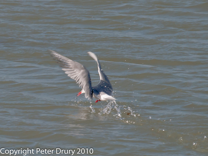 Common Tern fishing.  Re-emerging from the water. Copyright Peter Drury 2010