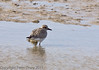 18 Oct 2011 Grey Plover (Pluvialis squatarola) at West Hayling LNR.