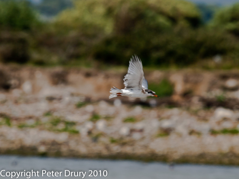 22 July 2010 - Common Tern's first flight. Copyright Peter Drury 2010<br /> It had greater success this time. It seems to have attempted this quite early as its feathers have not yet fully formed and it's appearance ids quite scruffy with the mix of down and feathers.