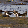 03 February 2011. Lapwing north of the oysterbeds. Copyright Peter Drury 2011