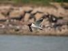 Gull bringing in yet more nesting material. Copyright Peter Drury 2010