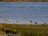03 February 2011. Black-tailed Godwit roosting at high tide and a Lapwing. Copyright Peter Drury 2011