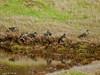 Starling (Sturnus vulgaris). Copyright 2009 Peter Drury