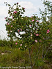 Dog-rose (Rosa canina) .. Copyright Peter Drury 2010