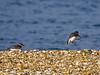 17 February 2011. Ringed Plover + Dunlin Landing. Copyright Peter Drury 2011