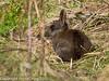 24 February 2011. Rabbit on the marsh. Copyright Peter Drury 2011