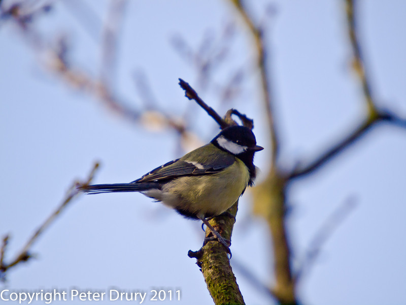 11 March 2011. Great Tit on the Hayling Billy Trail. Copyright Peter Drury 2011