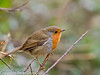 06 February 2011. Robin at the oysterbeds. Copyright Peter Drury 2011