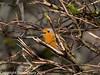 24 February 2011. Robin on the marsh. Copyright Peter Drury 2011