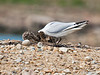 5 day old Black-headed Gull chicks. Cleaning the nest. Copyright Peter Drury 2010