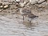 Black-headed Gull chicks dozing at waters edge. Copyright Peter Drury 2010