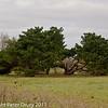 06 March 2011. Monterey Pines (Pinus radiata). Copyright Peter Drury 2011