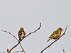 Goldfinch (Carduelis carduelis). Copyright 2009 Peter Drury<br /> Male left and female right. Oysterbed reserve, Hayling Island
