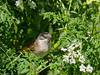 02 Jun 2011. Whitethroat (Sylvia Communis) at the oysterbeds. Copyright Peter Drury 2011