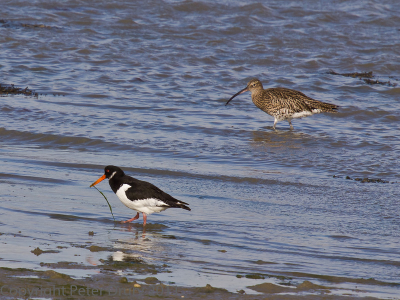 18 Oct 2011 Oystercatcher and Curlew at West Hayling LNR.