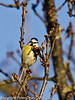 08 February 2011. Blue tit on the Hayling Billy trail. Copyright Peter Drury 2011