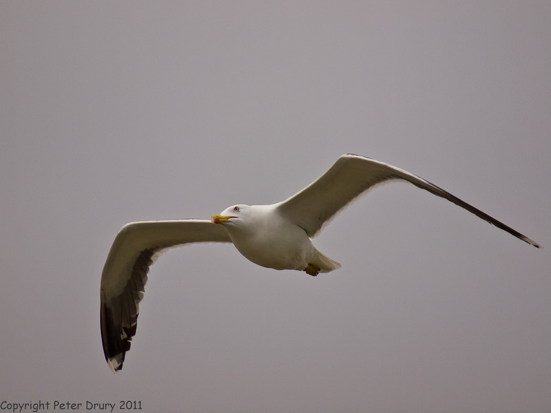28 May 2011. Lesser Black-backed Gull at the Oysterbeds. Copyright Peter Drury 2011