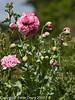 Opium Poppy (Papaver somniferum) 'Double flowered'.  Copyright Peter Drury 2010