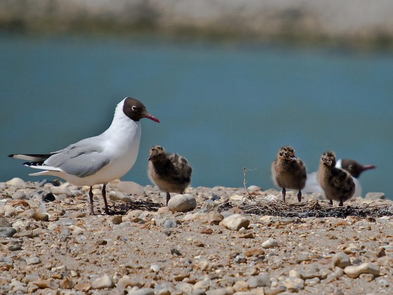 Black-headed Gull family group shot. Copyright Peter Drury 2010