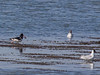 An Oystercatcher strolls up to a couple of Black-headed Gulls clutching a shellfish in its bill.