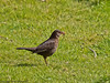 12 April 2011. Blackbird (female) on the Hayling Billy Trail.  Copyright Peter Drury 2011