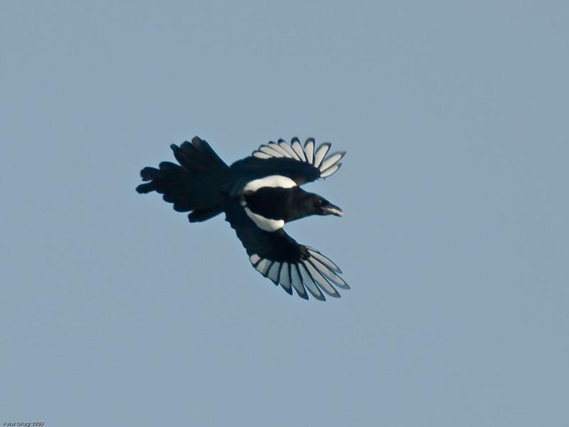 Magpie (Pica pica). Copyright 2009 Peter Drury
