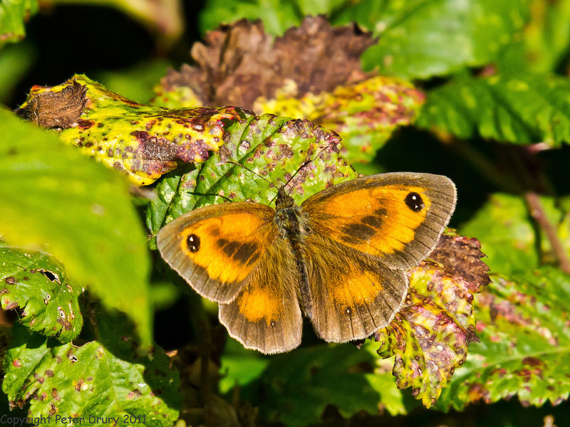 22 July 2011. Gatekeeper on the Hayling Billy Trail. Copyright Peter Drury 2011
