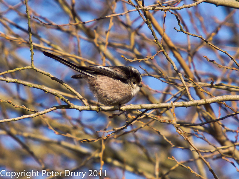 28 January 2011. Long tailed tits searching for food along the  Hayling Billy Trail.  Copyright Peter Drury 2011