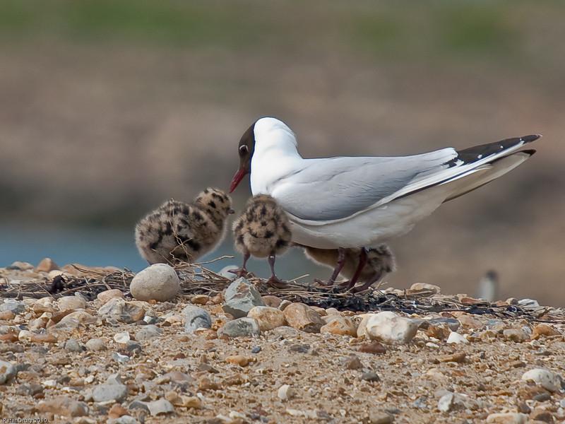 5 day old Black-headed Gull chicks. Copyright Peter Drury 2010