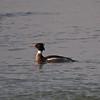 Red breasted Merganser (Merganser serrator) Male. Copyright 2009 Peter Drury
