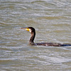 Cormorant (Phalacrocorax carbo). Copyright 2009 Peter Drury<br /> Oysterbeds, North Hayling Island