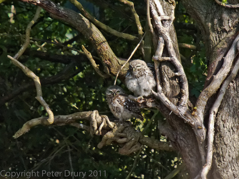 01 Aug 2011. Little Owl on the Hayling Billy Trail