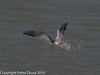 Common Tern fishing. Diving to catch a fish. Copyright Peter Drury 2010