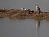 Roosting time. Grey Heron & Black-headed gulls at rest. Copyright 2009 Peter Drury