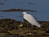 15 Oct 2011 Little Egret at the Oysterbeds.