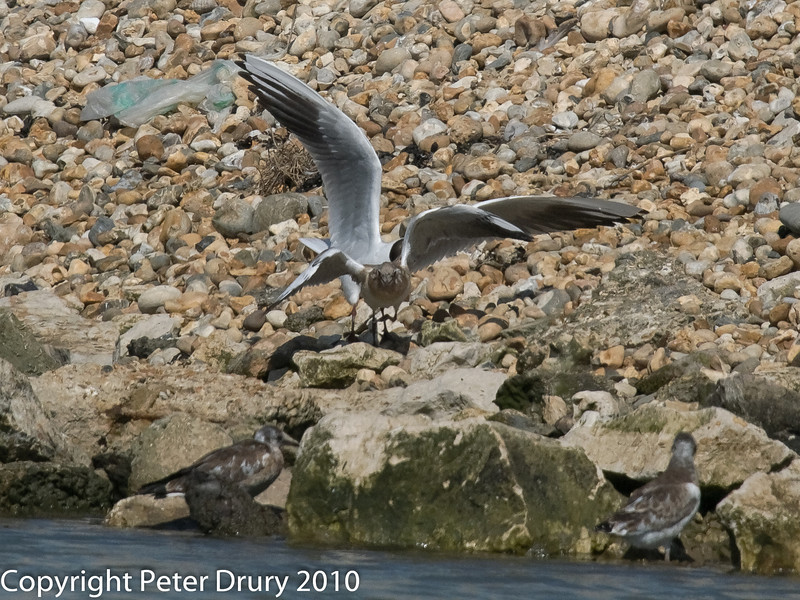 Juvenile gull too close to gull chicks #9. Copyright Peter Drury 2010