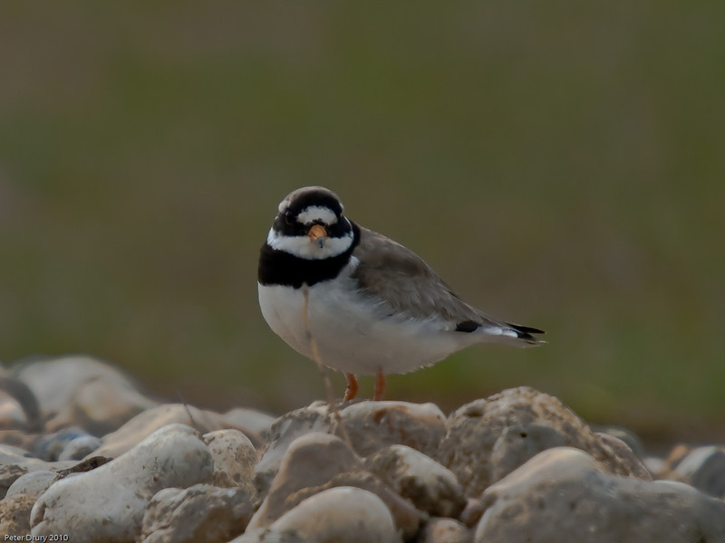 Ringed Plover (Charadrius hiaticula). One of a pair that tried to settle on the oysterbed nesting site but failed on the first attempt. Copyright Peter Drury 2010