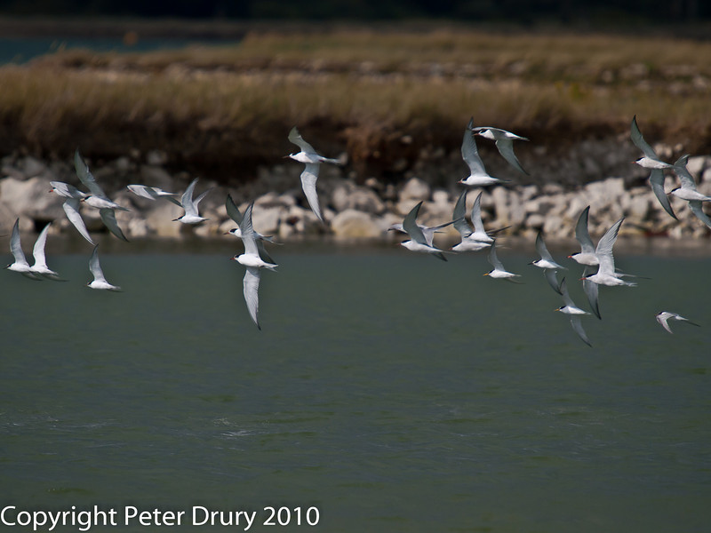 12 Aug 2010 - Little Tern and Common Tern in flight above the lagoon. Copyright Peter Drury 2010