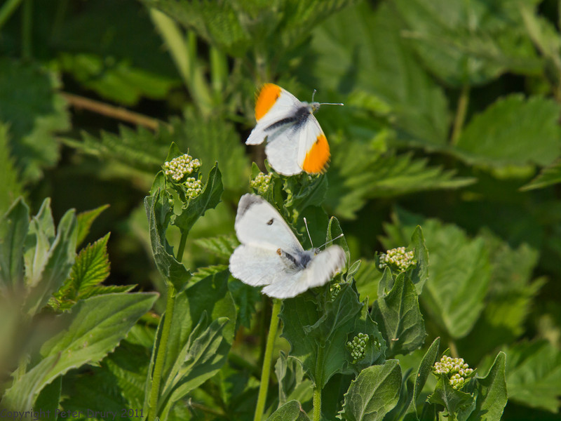 24 April 2011. Orange Tip at the Oysterbeds. The female (below) is showing the male that she has already been fertilised.  Comment amended to correct my statement here - Thanks Peter. Copyright Peter Drury 2011