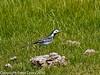 Pied Wagtail (Motacilla alba). On flood meadow alongside Hayling Billy Trail.  Copyright Peter Drury 2010
