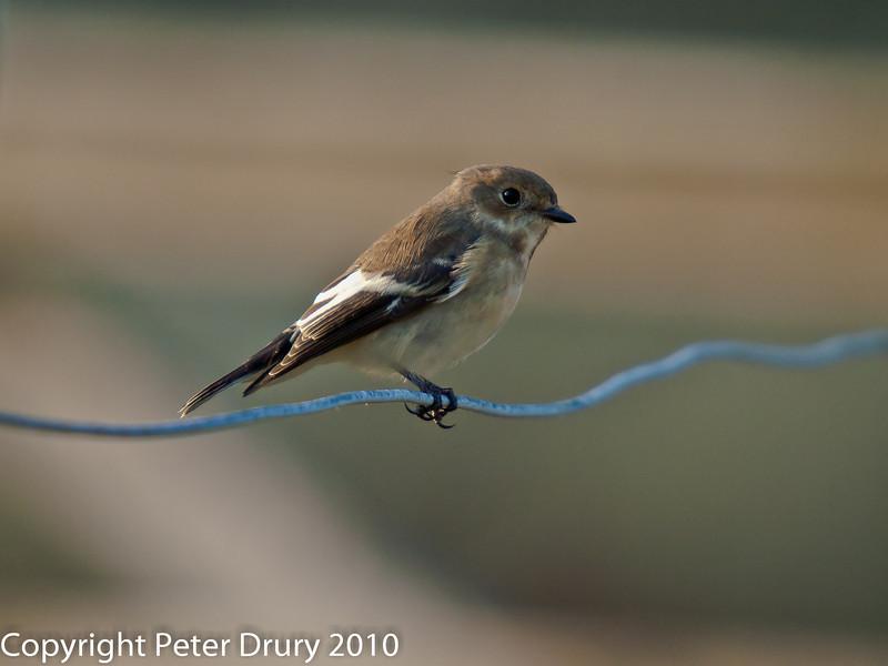 08 Aug 2010 - Pied Flycatcher (Ficedula hypoleuca) at North Hayling. Copyright Peter Drury 2010