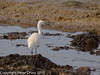 27 February 2011. Little Egret feeding in one of the old oysterbed sites. Copyright Peter Drury 2011