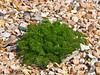 18 April 2011. Scentless Mayweed (Tripleurospermum inodorum) at the Oysterbeds.  Copyright Peter Drury 2011