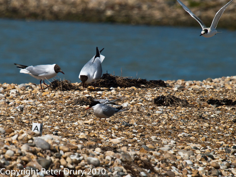 22 July 2010 - Common Tern and Black-headed Gulls. Copyright Peter Drury 2010<br /> A pair of Black-headed gulls displaying (left) and a juvenile Common Tern flying in to the island (top right).